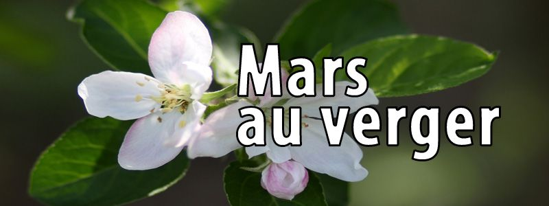 Travaux de mars au verger bio